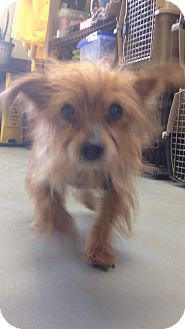Havelock, NC - Yorkie, Yorkshire Terrier Mix. Meet Bo a Dog for Adoption.