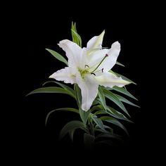 ユリ…純粋、無垢、威厳、洗練された美