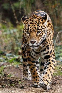 Jaguar (Panthera onca) by Mladen Janjetovic
