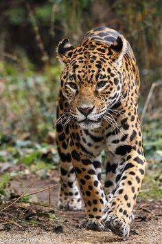 Jaguar (Panthera onca) by Mladen Janjetovic