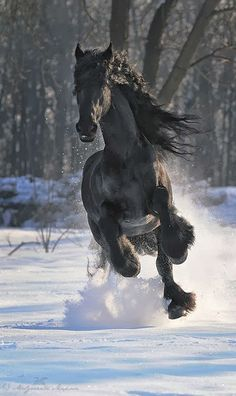 Friesian off for a powerful run in the snow. Gorgeous black horse.