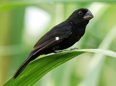 Bicudo (pássaro brasileiro) http://www.passaros.com/bicudo/