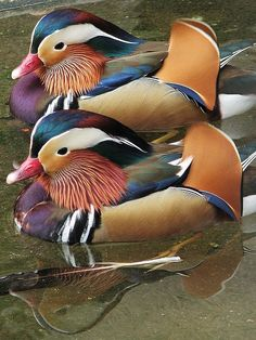 The Mandarin Duck (Aix galericulata), is a medium-sized, East Asian perching duck, closely related to the North American Wood Duck. Pretty Birds, Love Birds, Beautiful Birds, Animals Beautiful, Canard Mandarin, Mandarin Duck, Mandarin Oriental, Exotic Birds, Colorful Birds
