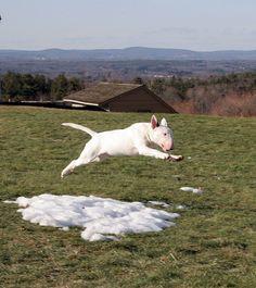 Notorious Bull Terriers. Standard Bull terriers and Miniature Bullterriers. Bolton, Massachusetts