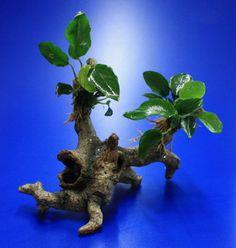 oW41550_3wf - Speerblatt-Urwaldbaum mit Hoehle _ Regenwaldbaum mit Anubia nana Wasserflora oW41550_3wf