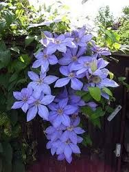 Image result for clematis justa