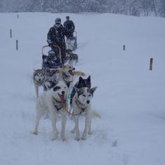 Dog Sledding in Trysil Norway Animal Pictures, Cool Pictures, Holidays In Norway, Norway Viking, 2017 Inspiration, This Girl Can, Midnight Sun, Sled, Winter Sports