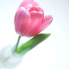 12:25 #photo #photography #picture #flowers #flowerslovers #flowerzdelight #ig_flowers #flowersofinstagram #flowerstalking #softfocus #flowersandmacro #pasandha__flowers #macrophotography #instadiary #tv_flowers #ig_japan #ig_artistry #jj_still_life #floral_perfection #macro_freaks #macro #fs_light #macro_spotlight #panasonic #lumixg6 #sigma #mastersofwhiteness #tv_closeup #japan #sapporo