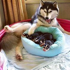 The Siberian Husky mom Madiana and her puppies