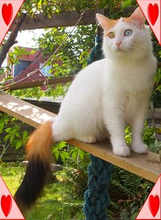 CatZahle'z Katte - www.dkzahles.dk Turkish Van Cats, King Of My Heart, Balinese, Cat Breeds, This Is Us, Dogs, Animals, Animales, Cat