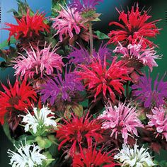 New Items - Panorama Mix Bee Balm Spring Hill Nurseries