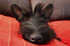 Scottie nose close-up by Mari du Preez