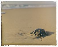 Back To The Water is a colorized wildlife photograph of a Horseshoe Crab slowly making it's way back to the ocean. This photograph was taken at Rehoboth Beach located in Delaware.  Title: Back To The Water Photographer: Melissa Fague Genre: Wildlife Photography