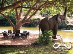 Tea or coffee anyone? @tororiverlodges #elephant #tea #coffee #afternoontea #cafe #nature #river #lodge #bigfive #big5 #elephants #afternoon #cuppa #africa #safari #wildlife #wild #animals #beautiful #southafrica #teatime #coffeebreak #onlyinafrica #happy #africanature #photography #amazing #wonderfulworld River Lodge, Big 5, African Safari, Wild Animals, Elephants, Animals Beautiful, Wonders Of The World, South Africa, Wildlife