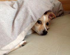 Jack Russel-Chihuahua Honey  Guten Morgen! Na, wen habe ich denn da gefunden?       Mehr lesen: http://d2l.in/5r  dogs2love - Gassi gehen zum Verlieben. Partnerbörse für alle, die Hunde lieben.  Bild, Dating, Foto, Hund, Partner, Rasse, Single