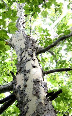 Bark(樹皮)Platanus