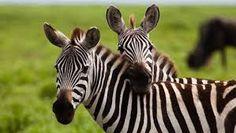Image result for zebras