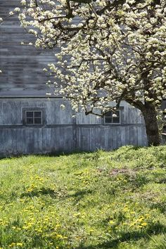 the old barn and the apricot tree in full bloom