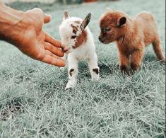 Baby Farm Animals, Cute Wild Animals, Baby Animals Pictures, Cute Animal Pictures, Cute Funny Animals, Cute Baby Cow, Baby Animals Super Cute, Cute Little Animals, Cute Goats
