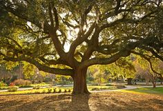 With its expansive canopy, an oak isn't just stately. It's a symbol of power and courage.   - HouseBeautiful.com