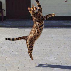 Ce chat Bengal est absolument magnifique avec une fourrure superbe !!