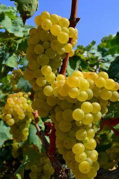 Variedades de uvas blancas de España http://www.vinetur.com/posts/1053-variedades-de-uvas-blancas-de-espana.html