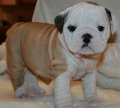 Baby Bulldog <3 All wrinkly and stuffs!