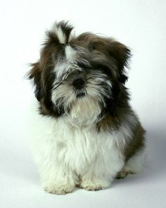 Shih Tzu - this is what Aggie looked like when she was a puppy and Shantha first saw her!  She had a tiny purple bow in each ear and was still and precious.  Still is at 11 years old!  Christy-Cole Creek Ranch Services.