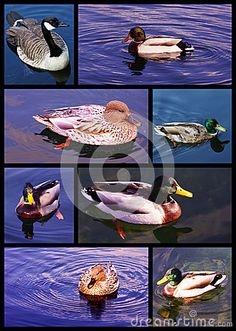 Swimming Ducks Collection - Download From Over 26 Million High Quality Stock Photos, Images, Vectors. Sign up for FREE today. Image: 44312338