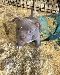 Puppies Discover Que lindinho Funny Animal Videos, Cute Funny Animals, Cute Baby Animals, Animals And Pets, Pit Puppies, Cute Dogs And Puppies, Baby Dogs, Baby Animals Pictures, Cute Animal Pictures