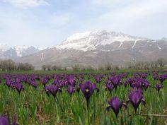 iris field, Dersim, Anatolia at the confluence of the Tigris, Euphrates, Gihon, Pison -munzur dagları