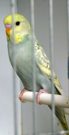n goldenface english budgie exhibition budgerigar s this beauty is a grey spangle opaline yellow face type very pretty bird