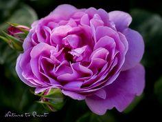 Rosenbild nach Wunsch: Mary Rose im Schattengarten. Leinwandbild oder Kunstdruck.