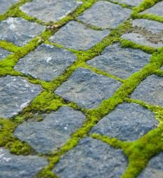 Moss growing between cobblestones. How to grow moss