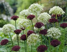 Plant this allium combination for late spring to early summer gardens. White and maroon are a great color combination! #white #maroon