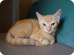 Lathrop, CA - Domestic Shorthair. Meet Rocket, a kitten for adoption. http://www.adoptapet.com/pet/16108746-lathrop-california-kitten