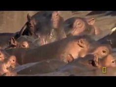 Animal documentaries | Lions Documentary Full Documentaries National Geographic Lion vs Hippo  animal documentaries, animal documentaries full episodes, animal documentaries discovery channel, animal documentaries 2015, animal documentaries for kids, animal documentaries national geographic, animal documentaries for children, animal documentaries hd, animal documentaries 2014, animal documentaries full episodes hd, animal documentaries full episodes,