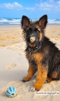 This German Shepherd pup apparently buried something in the sand.