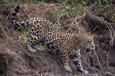 [5906x3937] Brazil: Jaguar (Young) Descending Bank [2048 x 1365] /r/AnimalPorn. wallpaper/ background for iPad mini/ air/ 2 / pro/ laptop @dquocbuu