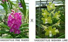 VASCOSTYLIS PINE RIVERS X VASCOSTYLIS MISHIMA LIME   Flickr - Photo Sharing!