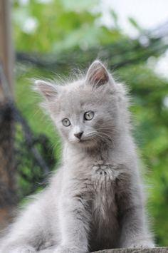 Nebelung - bleu russe à poil long