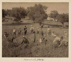 Harvest, 1904. [American Colony in Jerusalem -- American Memory]