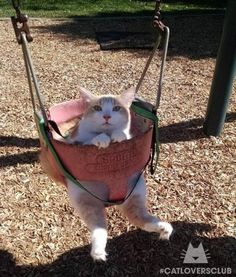 PetsLady's Pick: Funny Swinging Cat Of The Day...see more at PetsLady.com -The FUN site for Animal Lovers