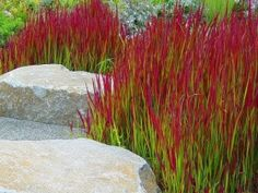 Crvena trava, perena -IMPERATA CYLINDRICA `RED BARON - Prodavnica ASC Garden Beograd