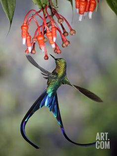 Violet-Tailed Sylph (Aglaiocercus Coelestis) Hummingbird, Heath (Ericaceae), Andes, Ecuador Photographic Print by Michael and Patricia Fogden/Minden Pictures at Art.com