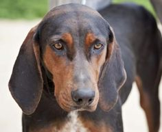 Black & Tan Coonhound M senior neutered named Rufus in Cartersville, GA @ Etowah Valley Humane Society (770) 383-3338 adoptions@etowahvalleyhumane.org