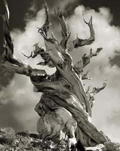 """""""Bristlecone Pine"""" High in theWhite Mountains of the Inyo National Forest in California are gnarled bristlecone pines well over 4,000 years old."""