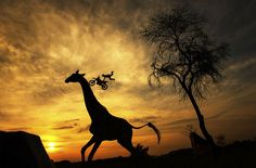 Motocross At South African Savanna By Joerg Mitter