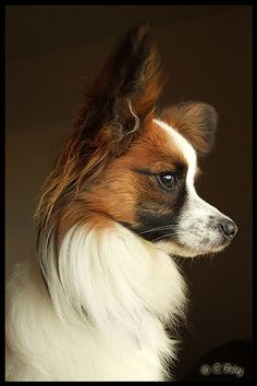 Papillon dog art portraits, photographs, information and just plain fun. Also see how artist Kline draws his dog art from only words at drawDOGS.com #drawDOGS http://drawdogs.com/product/dog-art/papillon-dog-portrait-by-stephen-kline/ He also can add your dog's name into the lithograph.