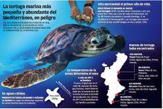 La costa valenciana tiene cuatro zonas de reproducción de tortugas boba…